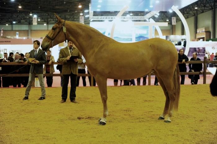 Nora Cen, meilleurs allures des jeunes chevaux.